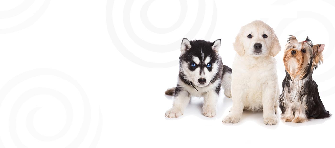 Petland Jacksonville Puppies For Sale Jacksonville Florida Pet