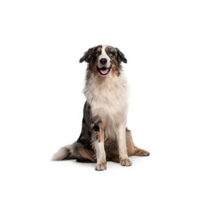 australian-shepherd on white background
