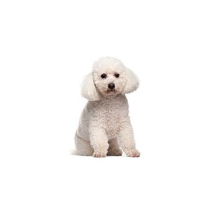 bichon frise puppies for sale on white background