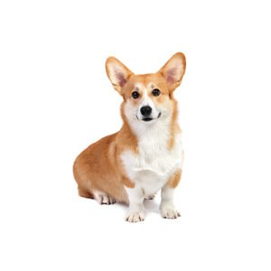 Pembroke Welsh Corgi Puppies For Sale Breed Info Petland
