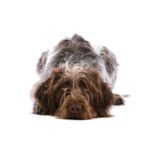 Petland Jacksonville Florida German Wirehaired Pointer