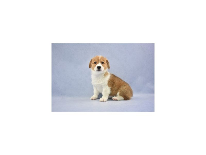 Visit Our Pembroke Welsh Corgi Puppies For Sale Near St Johns Florida