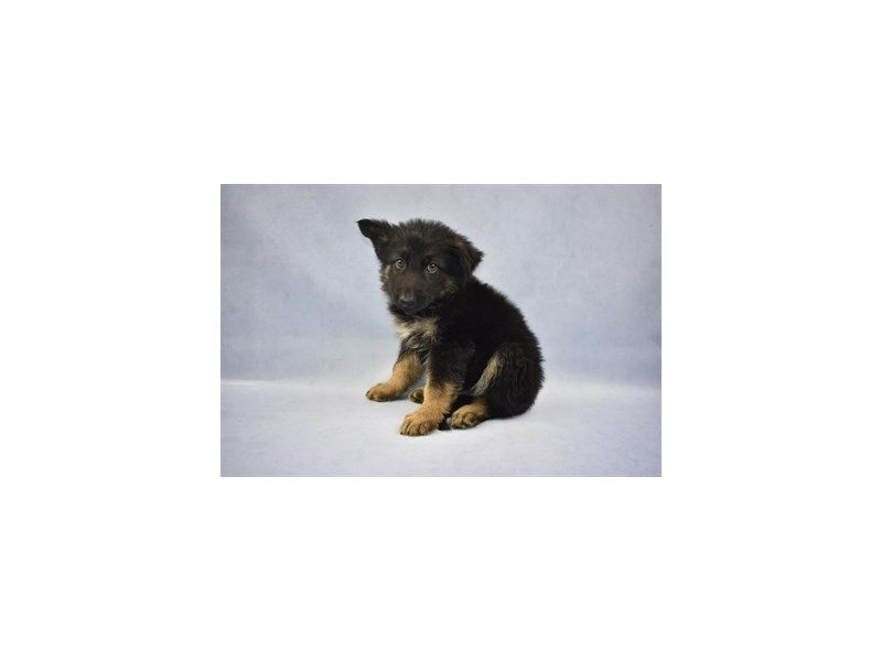 Visit Our German Shepherd Puppies For Sale Near St Johns Florida