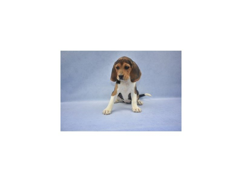 Beagle-Female-Black White and Tan-2141170-Petland Jacksonville Florida