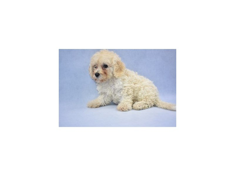 Bichon Poo-DOG-Female-Cream-2166533-Petland Jacksonville Florida