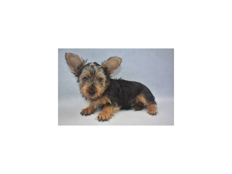 Silky Terrier-Male-Silver Black and Tan-2195326-Petland Jacksonville Florida