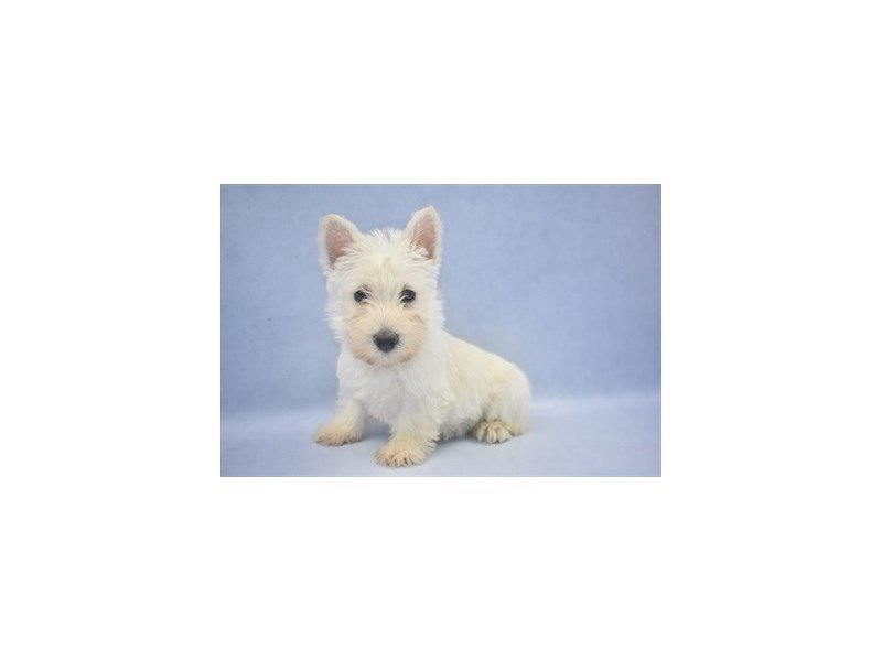 Scottish Terrier-Male-Wheaten-2195450-Petland Jacksonville Florida