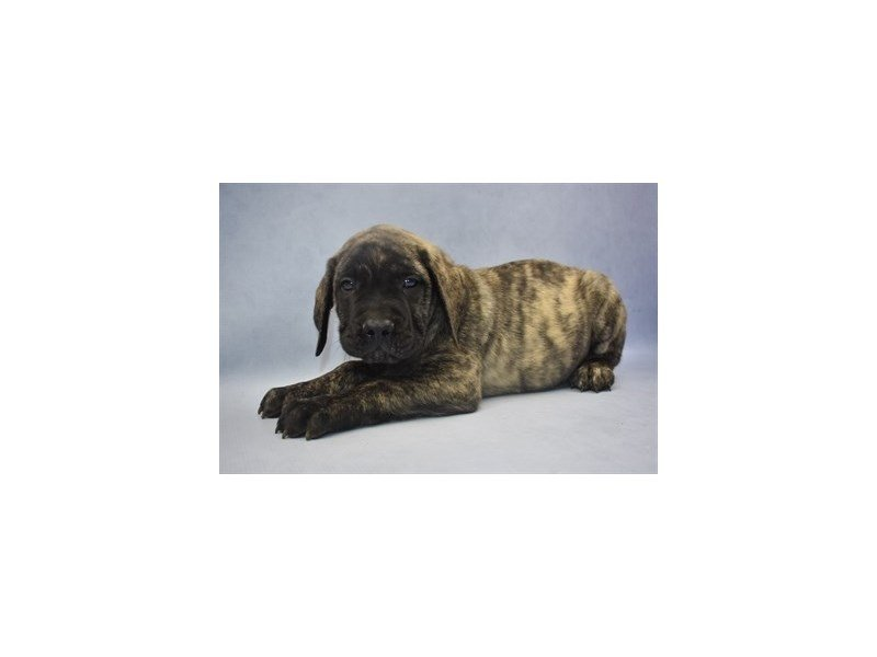 English Mastiff-Male-Brindle-2199723-Petland Jacksonville Florida