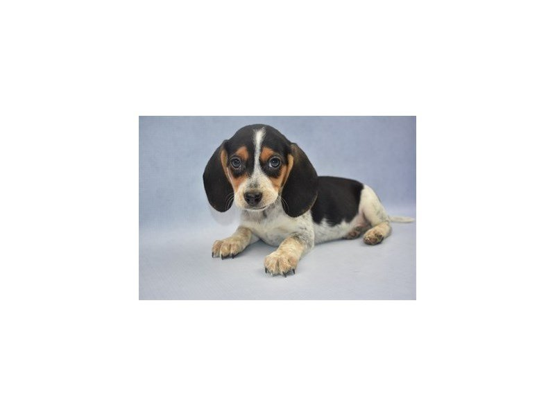 Beagle-Female-Black Tan and Blue Ticked-2204296-Petland Jacksonville Florida