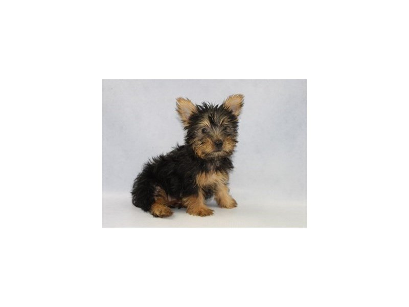 Silky Terrier-Male-Black and Tan-2204385-Petland Jacksonville Florida
