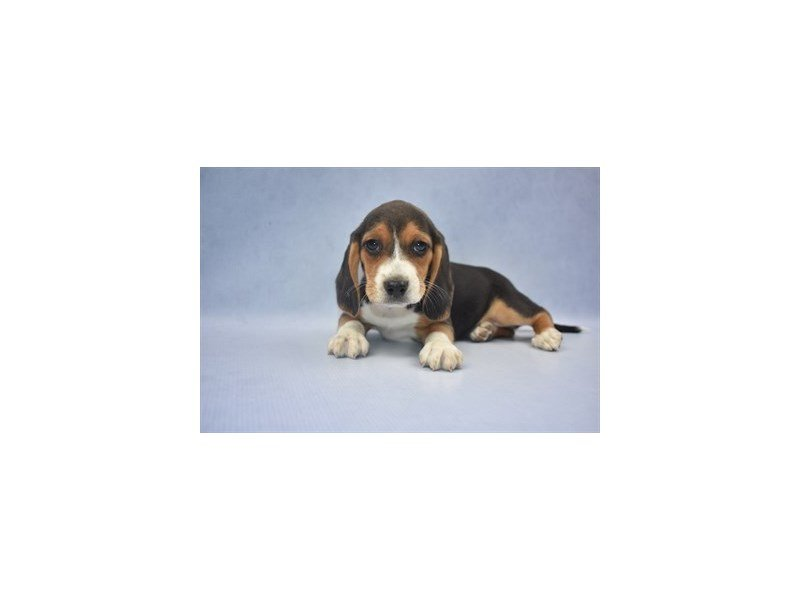 Beagle-Female-Black Tan and White-2213617-Petland Jacksonville Florida