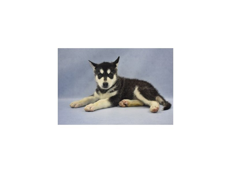 Alaskan Malamute-Male-Black and White-2213620-Petland Jacksonville Florida