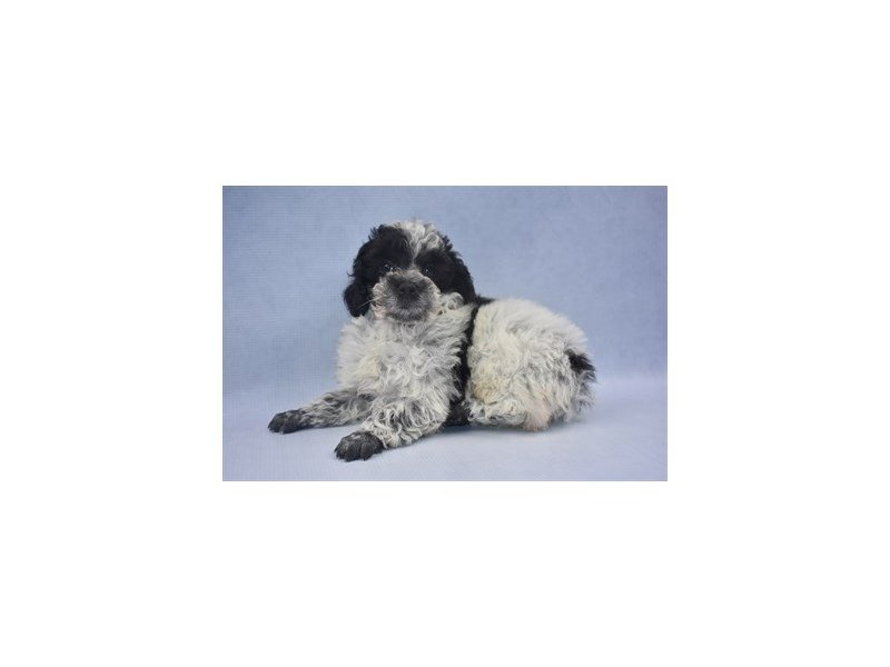 Poodle-DOG-Male-Black and White-2217126-Petland Jacksonville