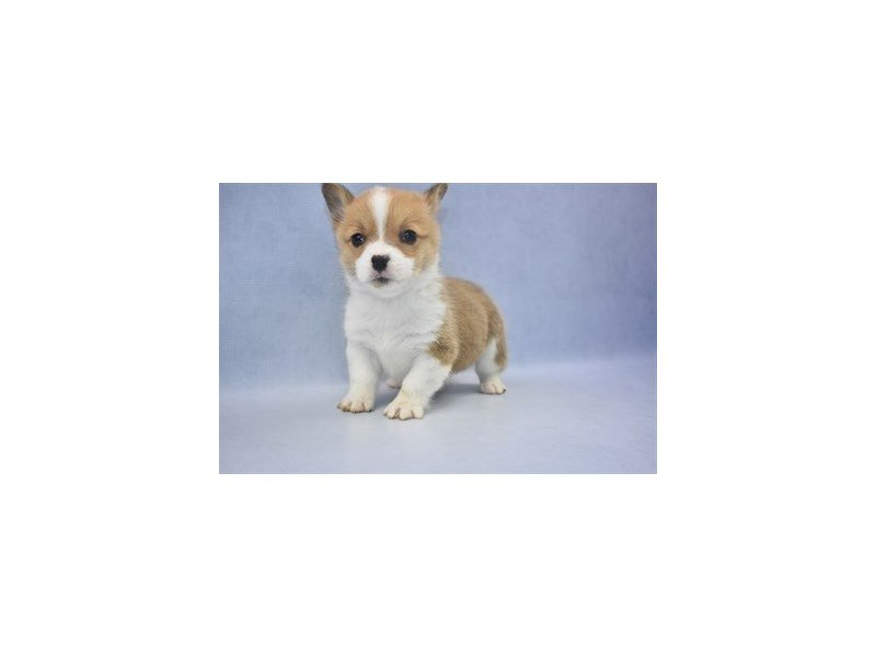 Visit Our Pembroke Welsh Corgi Puppies For Sale Near Orange Park Florida