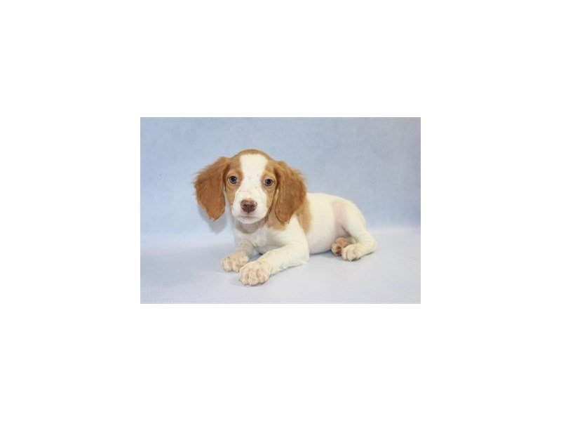 Brittany-Female-Orange and White-2228341-Petland Jacksonville Florida