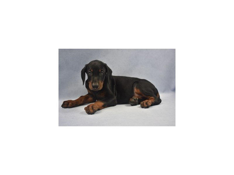 Doberman Pinscher-Male-Black and Rust-2228342-Petland Jacksonville Florida