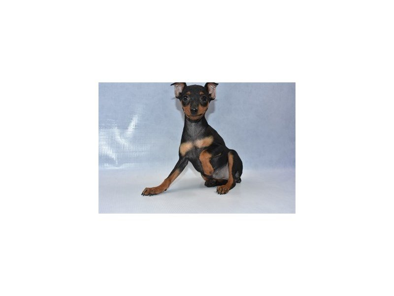 Miniature Pinscher-Female-Black and Tan-2240692-Petland Jacksonville Florida