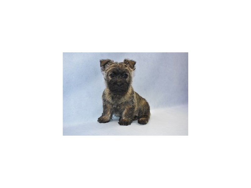 Cairn Terrier-DOG-Female-Wheaten-2249357-Petland Jacksonville Florida