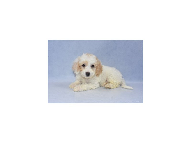 Bichon Poo-Female-White and Apricot-2249392-Petland Jacksonville Florida