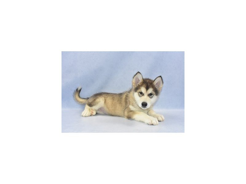 Alaskan Malamute-DOG-Female-Sable and White-2249485-Petland Jacksonville Florida