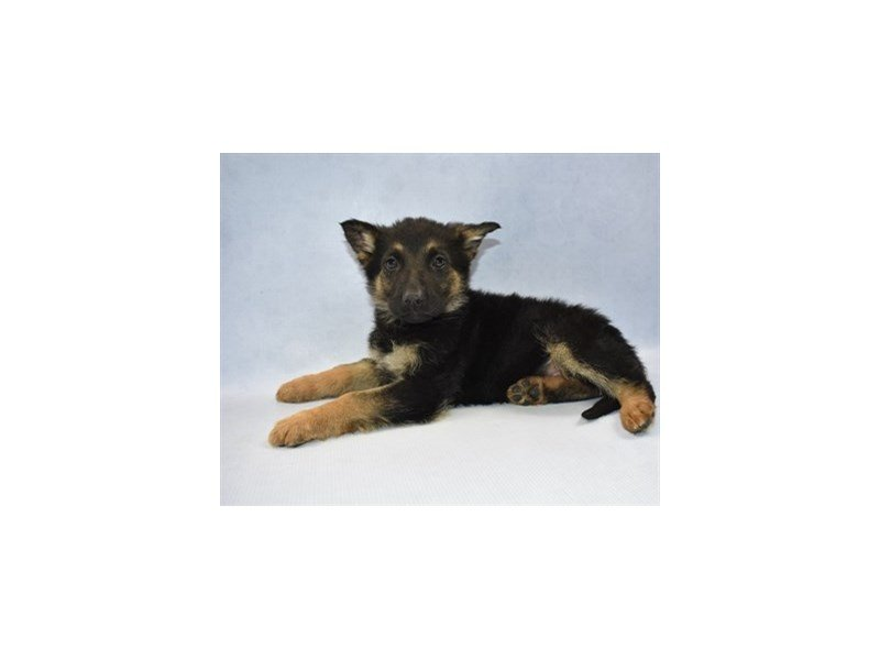 Visit Our German Shepherd Puppies For Sale Near St Augustine Florida