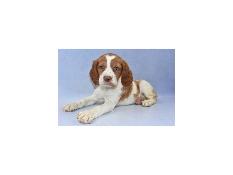 Brittany-Female-Orange and White-2254636-Petland Jacksonville Florida