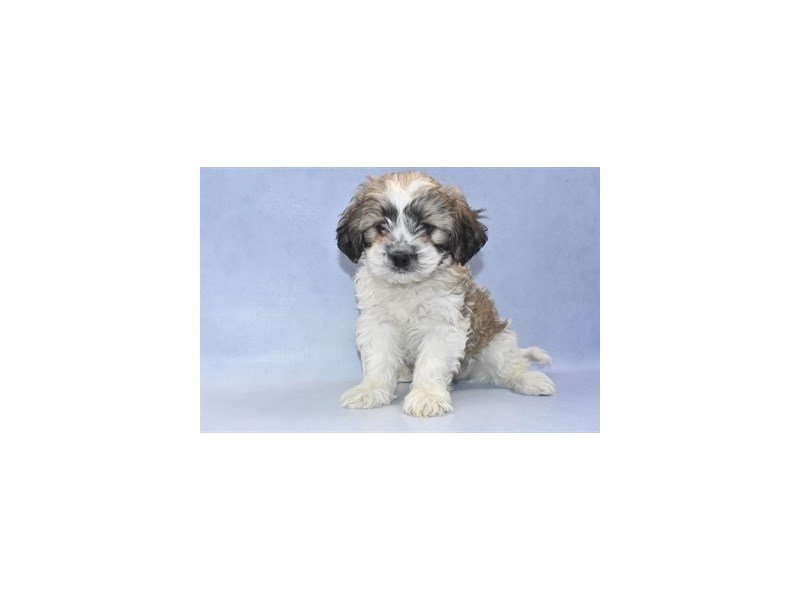 Teddy Bear-Male-Silver Gold and White-2254642-Petland Jacksonville Florida