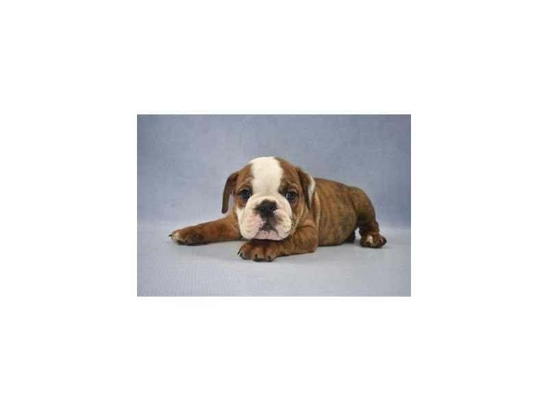 English Bulldog-Male-Red Brindle and White-2260295-Petland Jacksonville Florida