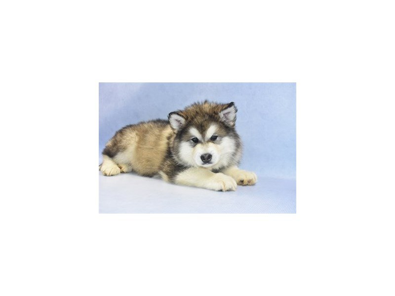 Alaskan Malamute-Male-Sable and White-2265729-Petland Jacksonville Florida