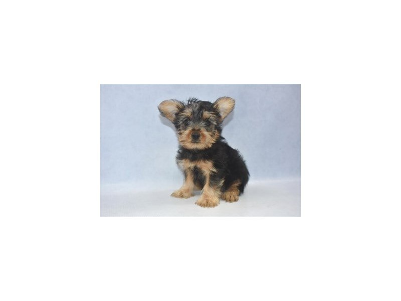 Silky Terrier-Male-Black and Tan-2249496-Petland Jacksonville Florida
