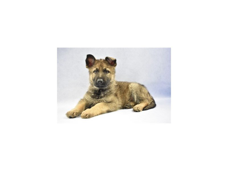 German Shepherd-Male-Sable-2271472-Petland Jacksonville Florida