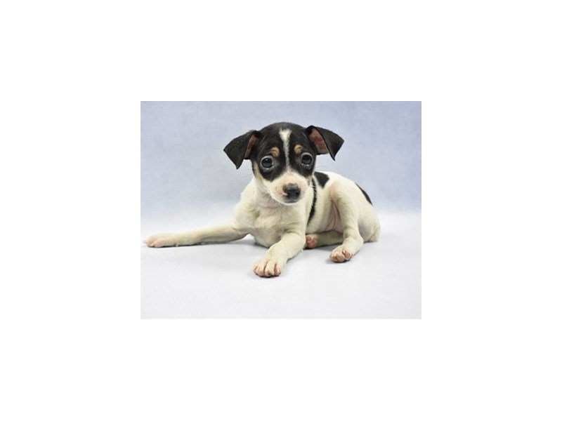 Toy Fox Terrier-Female-White Black and Tan-2275812-Petland Jacksonville Florida