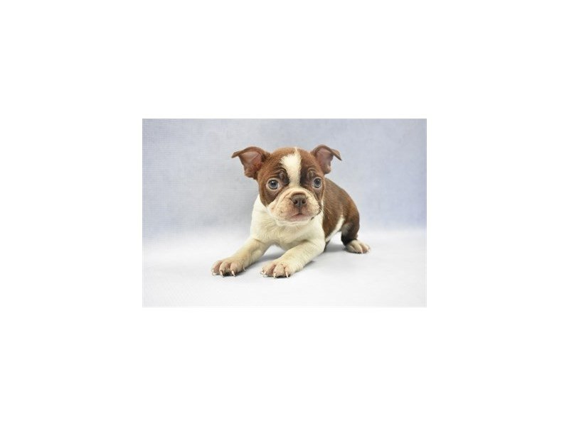 Boston Terrier-Male-Seal Brindle and White-2275979-Petland Jacksonville Florida