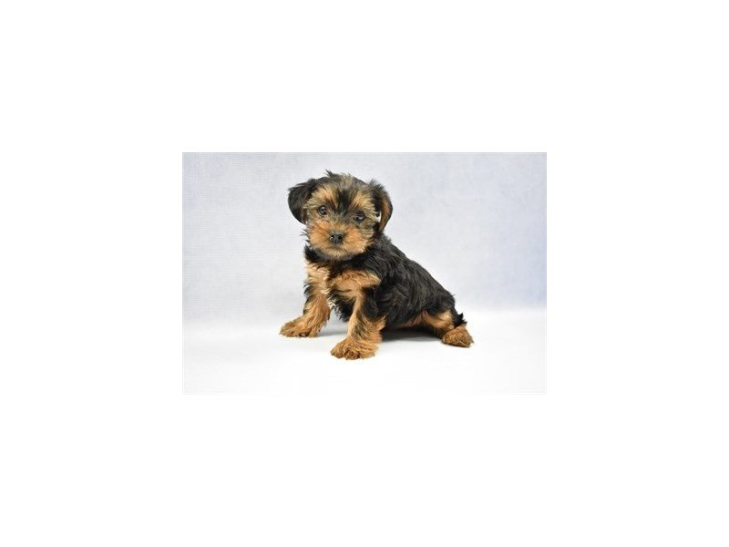 Yorkshire Terrier-DOG-Female-Black and Tan-2286466-Petland Jacksonville Florida