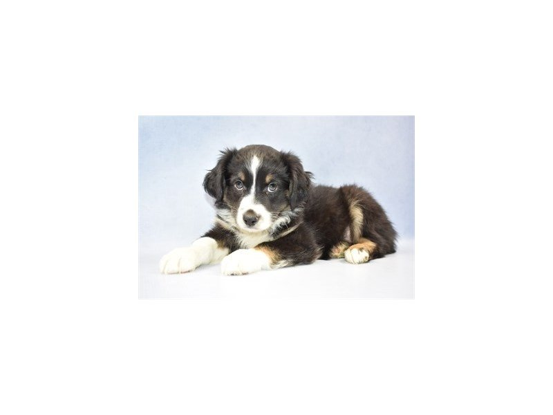 Australian Shepherd-Male-Black and White-2303858-Petland Jacksonville Florida