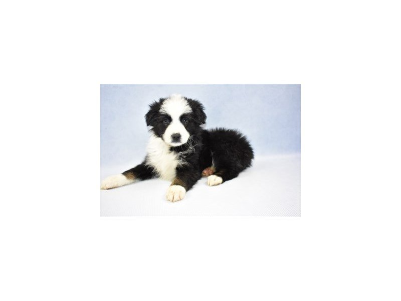 Australian Shepherd-Female-Black and White-2309369-Petland Jacksonville Florida