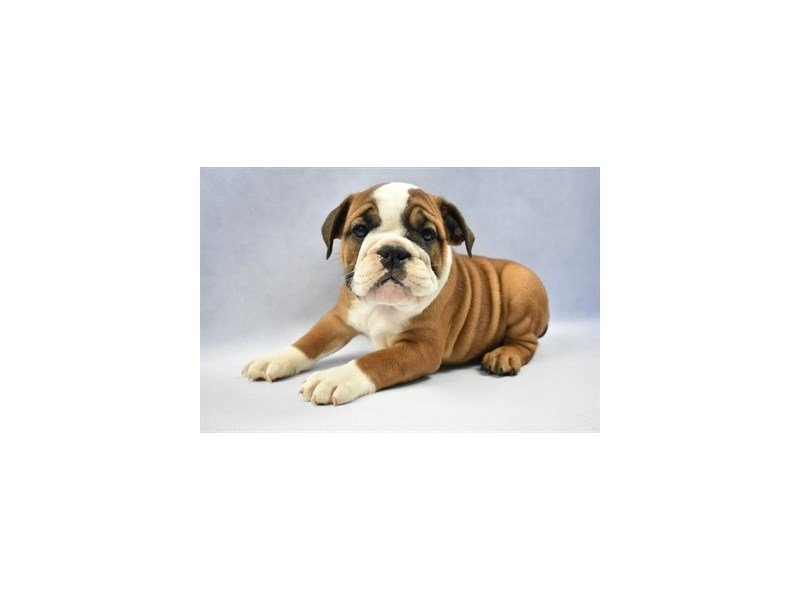 English Bulldog-Female-Red and White-2271511-Petland Jacksonville Florida