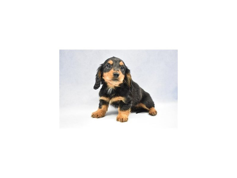 Dachshund-Male-Black and Tan-2292236-Petland Jacksonville Florida