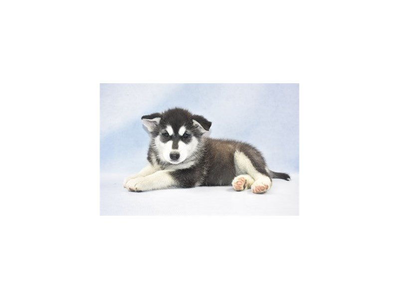 Alaskan Malamute-Female-Black and White-2298412-Petland Jacksonville Florida