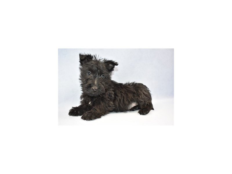 Scottish Terrier-Male-Black-2303690-Petland Jacksonville Florida