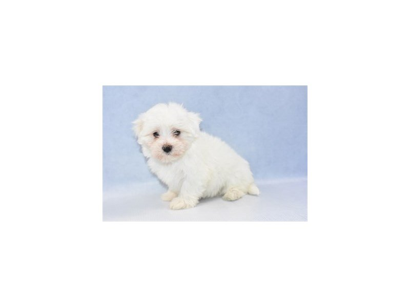 Maltese-Female-White-2309256-Petland Jacksonville Florida