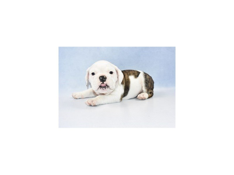 English Bulldog-Female-Red Brindle and White-2309359-Petland Jacksonville Florida
