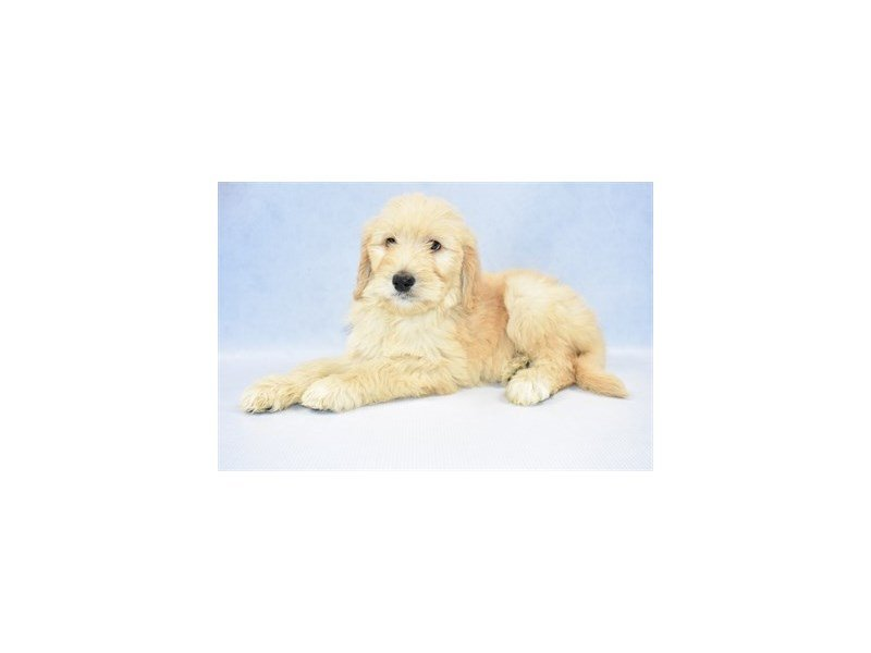 Goldendoodle-Female-Golden-2315005-Petland Jacksonville Florida