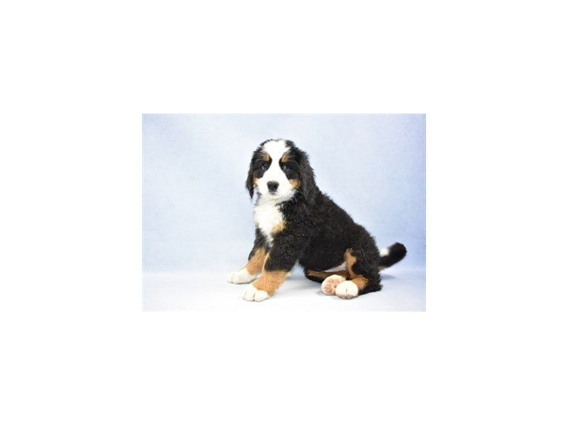 Bernese Mountain Dog-DOG-Female-Black Rust and White-2320169-Petland Jacksonville Florida