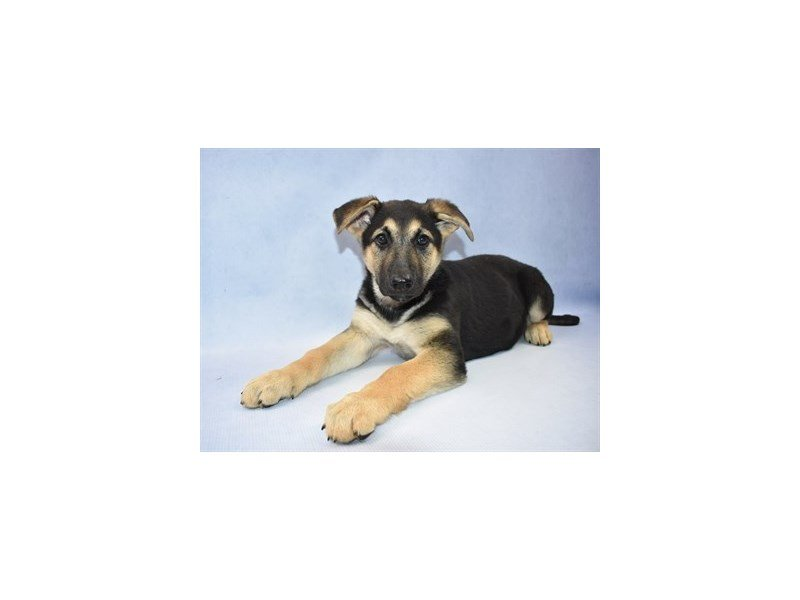 German Shepherd-Female-Black and Tan-2331126-Petland Jacksonville Florida