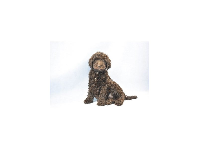 Labradoodle-DOG-Female-Brown-2325594-Petland Jacksonville Florida