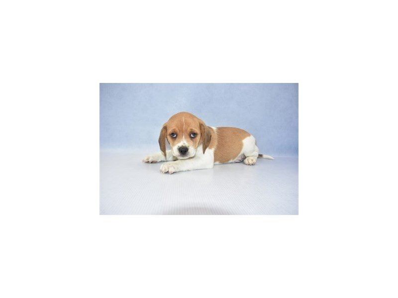 Puggle-Male-Brown and White-2341345-Petland Jacksonville Florida