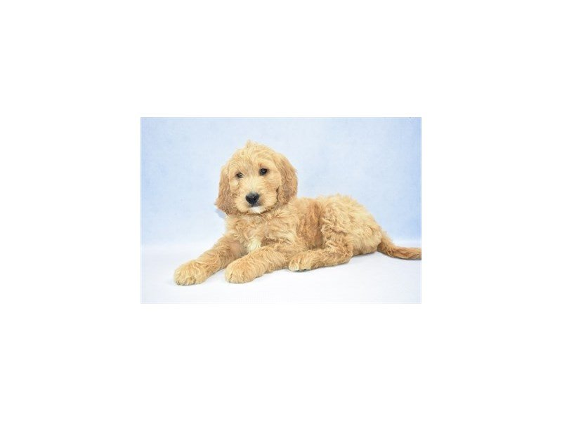 Goldendoodle-Female-Golden-2341454-Petland Jacksonville Florida