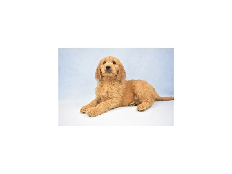 Goldendoodle-Male-Golden-2341458-Petland Jacksonville Florida