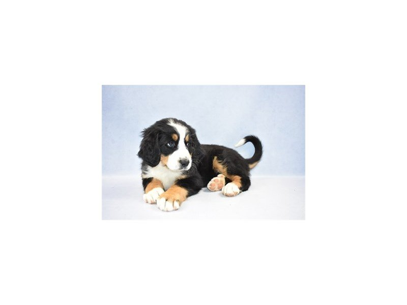 Bernese Mountain Dog-Female-Black Rust and White-2341578-Petland Jacksonville Florida